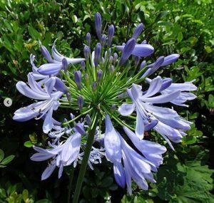 中川は、都筑区自慢の総延長15kmの緑道のスタート地点です。その入口を飾る花壇では、今日は紫陽花とアガパンサスが咲いていました。②