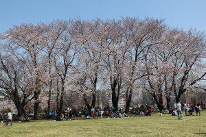 中川八幡山公園の桜