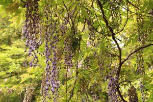 山崎公園の藤の花