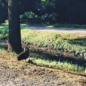 遊歩道のカモ