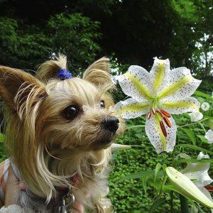 3日ぶりのお散歩♪いつの間にか大きなヤマユリの花が咲いていました。