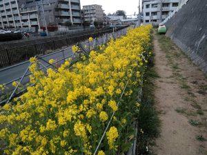 HRGの菜の花畑