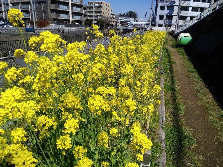 3月 不動尊側園路菜の花