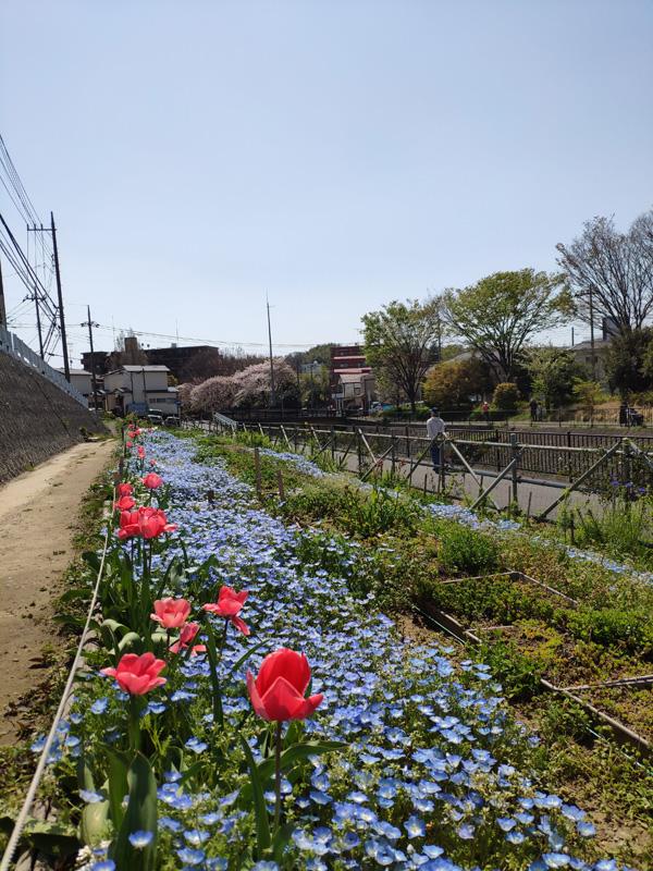 4月 鍛冶橋側園路のネモフィラ