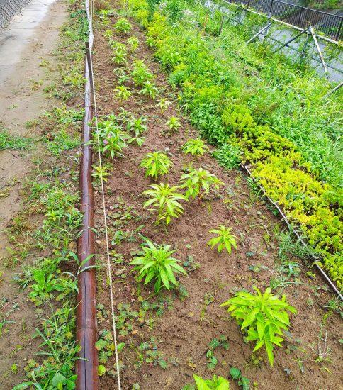 【HRG】2020年7月15日(水)梅雨空の中で一年草植替えと雑草退治